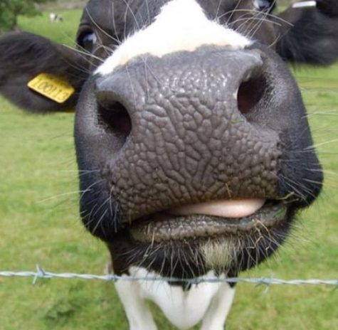 Sophomore grows Cow-Instagram to 30 thousand followers